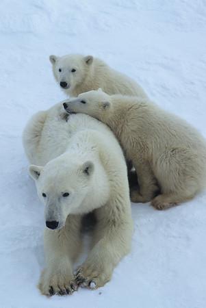 Polar Bear (Ursus maritimus) mother and cubs. Hudson Bay, Canada