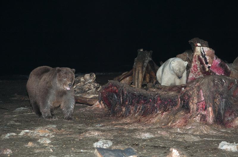 Polar Bears (Ursus maritimus) and an Alaskan Brown Bear (Ursus middendorffi) feeding on the carcass of a Bowhead Whale (Balaena mysticetus). Kaktovik, Alaska