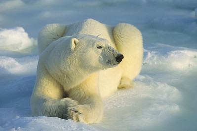 Polar Bear portrait of an adult resting on the shores of Hudson Bay. Canada