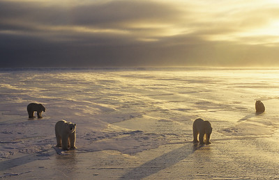 Polar Bear gathering during sunset on frozen ice in Churchill, Manitoba, Canada.