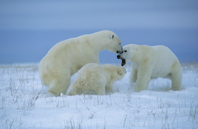 Polar Bear (Ursus maritimus) female charges an intruding male and her cub follows suit.