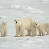 Polar Bear (Ursus maritimus) mother and her two cubs at Cape Churchill, Manitoba, Canada.