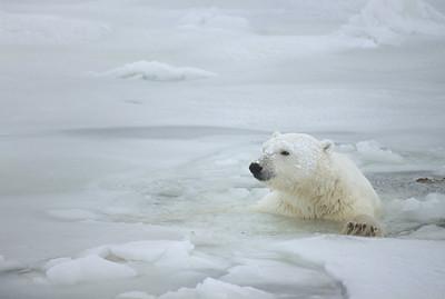 Polar Bear swimming in the slushy waters of the semi-frozen Hudson Bay, Canada.