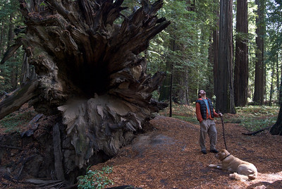 Charlie, Lucky, and the roots of a toppled redwood tree, Redwood State Park
