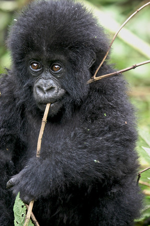 A baby gorilla in Volcanoes National Park, Rwanda