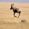 A deer running across a plain in Serengeti National Park, Tanzania