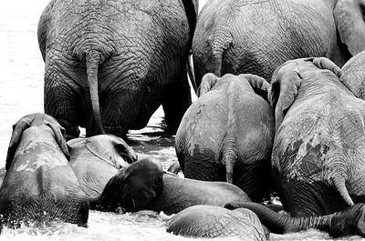 A herd of elephants crossing water in Serengeti National Park, Tanzania