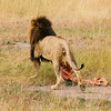 A male lion holding its prey in his mouth, Ngorongoro Crater, Tanzania