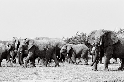 A herd of elephants in Serengeti National Park, Tanzania