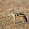 A black-backed jackal in Serengeti National Park, Tanzania