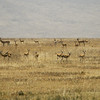 A herd of gazelles in Serengeti National Park, Tanzania