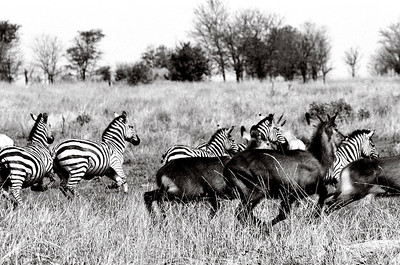 Tanzania Animals_Zebra and deer