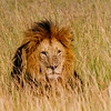 A male lion lying in the grass in  Serengeti National Park, Tanzania