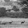 A herd of gazelles on the alert in Serengeti National Park, Tanzania