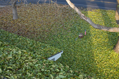 My parents have two trees in their front yard that don't drop their leaves until the first freeze, and then they drop them all in one day. The brown leaves are from a walnut tree and the green leaves are from a fruitless mulberry. I'm on the roof of their house to get the picture. It takes a full day to rake and bag them all.