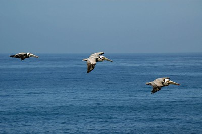 The pelicans would fly around at low tide looking for fish in the shallows. Once a meal was spotted they would dive from 40 or 50 feet hitting the water hard. They would come back up to the surface after a second or two, and if successful, fly to the rocks to enjoy their catch.