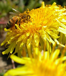 Close up of a bee and dandelion.