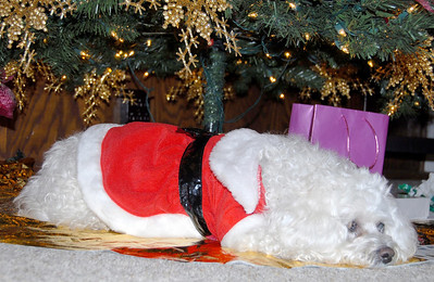 12/25/07 – photo 5 of 6. We went to dinner at my parent's house in the afternoon. This is my sister Danna's dog, Yvette. She had him dressed up like Santa. She appropriately slept under the Christmas tree.