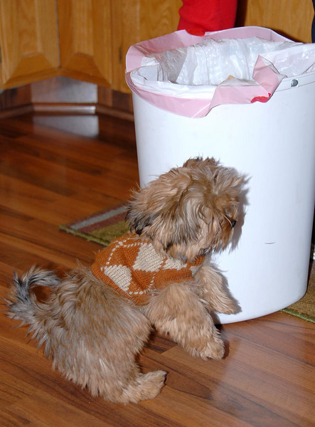 12/23/07 – I had to take this picture because Oslo was so cute in his little sweater. He was actually trying to get into the garbage. We were cooking and he knew there was something good smelling in that white thing. He was just too short to see inside.