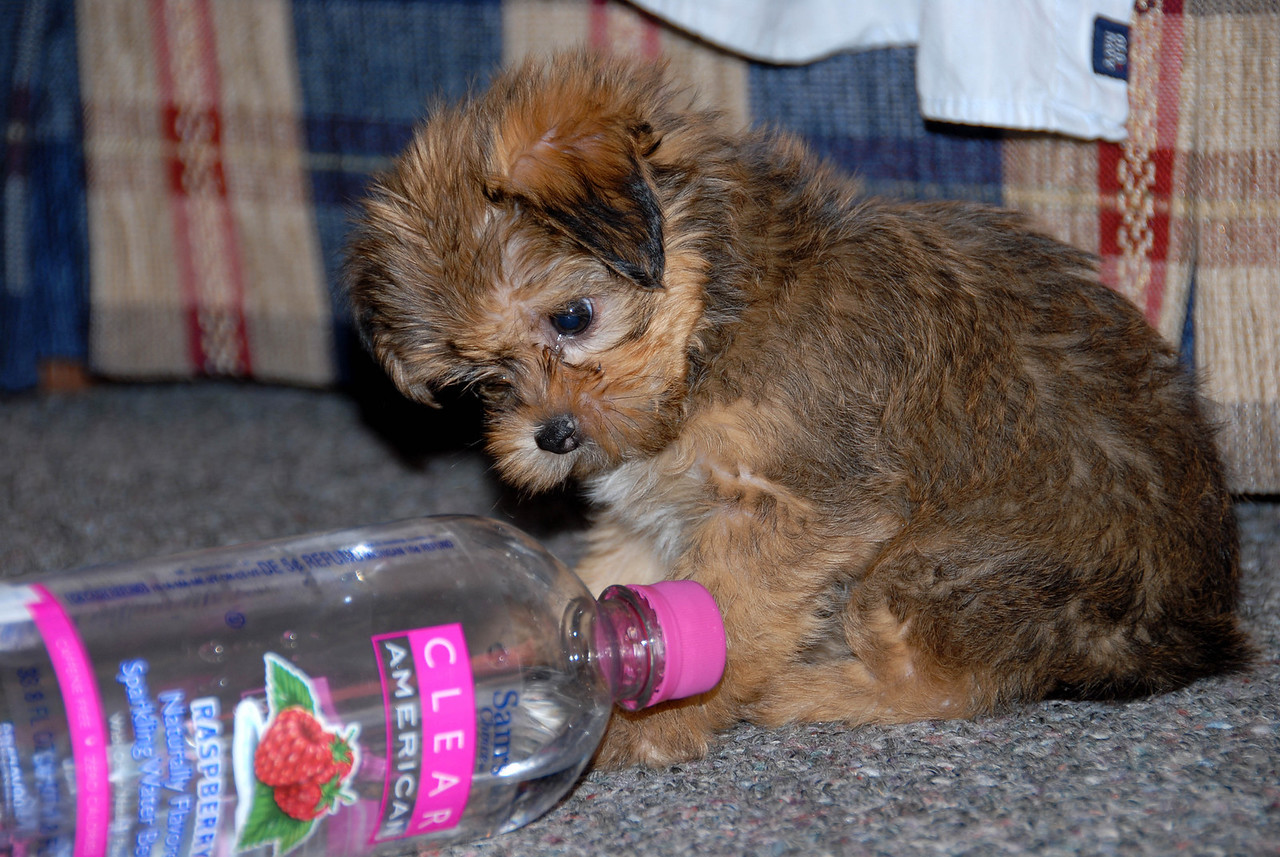 4/24/07 – Chip is so cute I'm doing a second photo for today. If you don't hold him he usually is running and jumping so fast it is hard to get a photo of him. Here he was puzzled by the bottle and stopped long enough to try and chew off the cap.