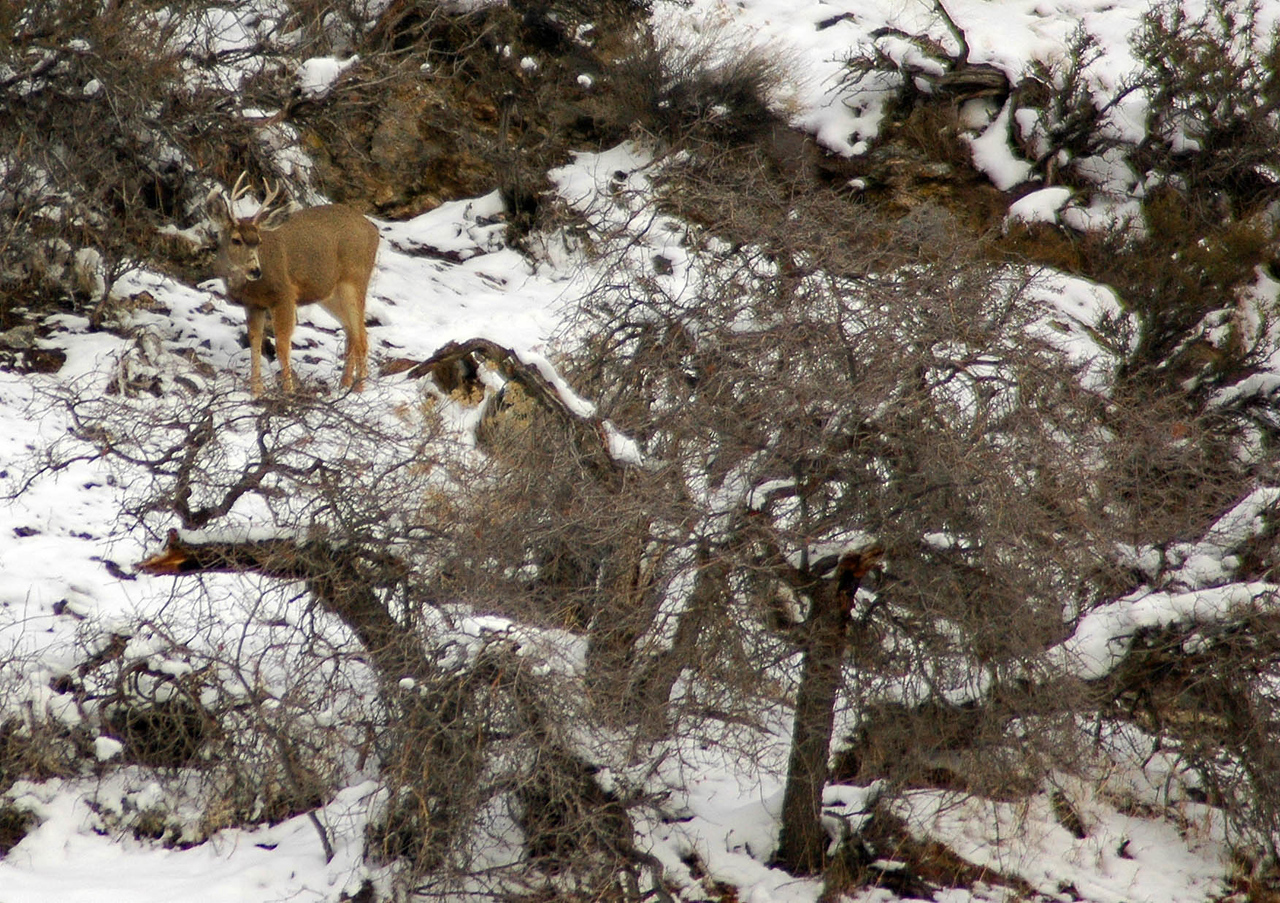 2/24/07 – I drove into the hills above my home looking for a photo opportunity. I've seen deer before in this area, but I've never seen a buck. This small four-point moved down the hill towards me then eventually cut across the hill and into the heavy brush.