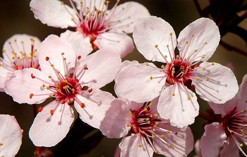 The apple blossoms were shot in full sun light casting shadows of the pistols on the blossom petals.