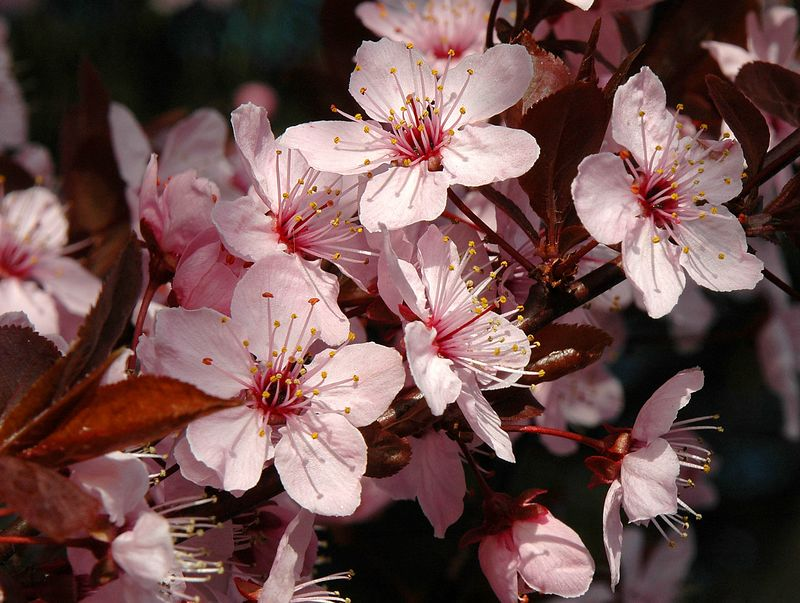 The shadows here have greater dimension due to leaves, branches and blossoms all casting shadows. Those in the background are in deeper shadows. This all helps isolate and bring attention to the primary blossoms right up front.