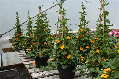 "10"" Thunbergia with tepee - great for fall color!"