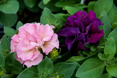 These double Petunia's are breath taking..