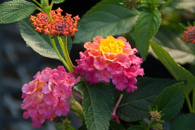 Lantana Lucky Sunrise.