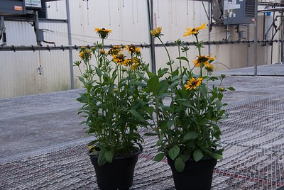 "10"" Rudbeckia hirta - we had 7 varieties!"