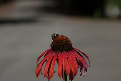 Echinacea Lunch Counter.