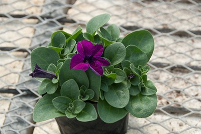 Perfect Petunia in a pot in early April.