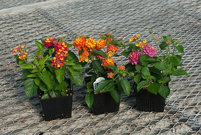 Assortment of Lantana