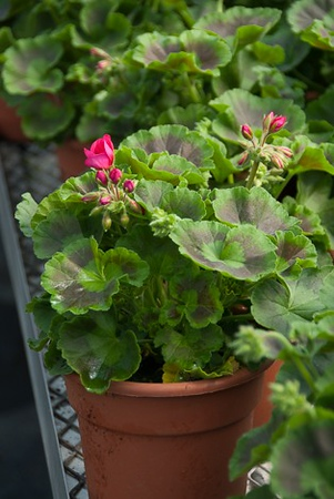 "6"" Geranium sell even faster!"