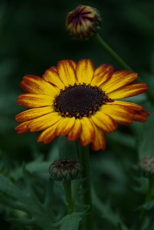 Kool Chrysanthemum.