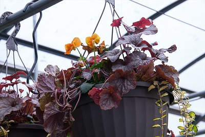Fall Color Hanging Baskets are looking  marvey!