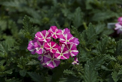 Great markings on the Verbena Estrella Voodoo Pink Star.