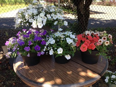 "12"" hanging basket with the selection of 10 inch pots in white, lavender and peach."