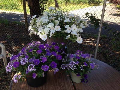 "12"" hanging basket with the 10"" and 6"" planters in lavender."