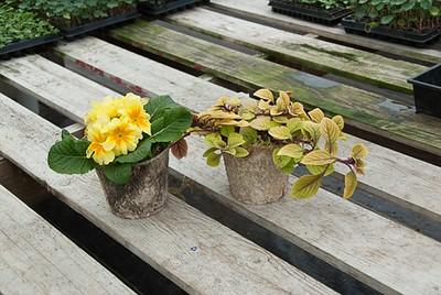 Birch Pots