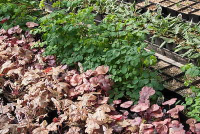 Thalictrum & Heucherella