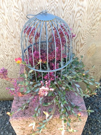 Our medium Bird Cage o' Succulents
