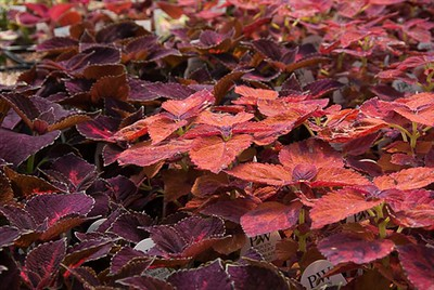 A sea of Coleus