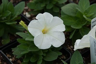 Pertectunia White