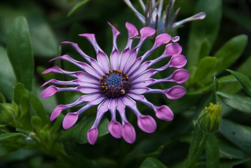 Osteo Flower Power Spider Pink