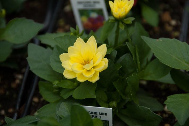 Dahlia Imagine Bicolor Yellow