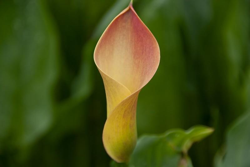 Zantedeschia Lady Marmalade