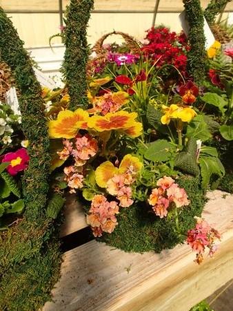 Large Moss Basket o' Spring Color
