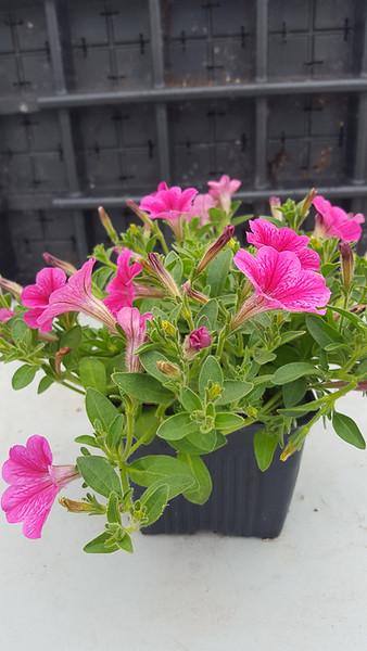 Petunia Happy Miniature Hot Pink